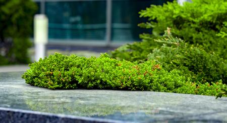 Cultivar creeping juniper Juniperus horizontalis Agnieszka in the rocky garden