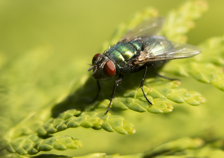 Fly animal ,house fly eating bananas, ripe fruits fly species calliphora vomitoria . Stock Photo