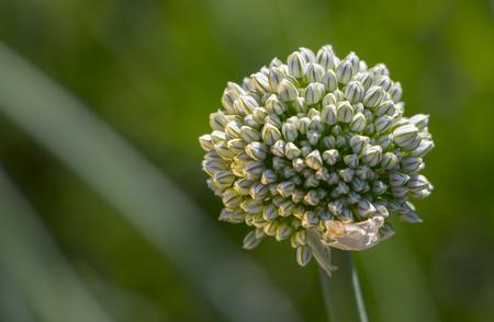 bourgeon floral sur une plante avec des graines d'oignons dans le jardin.