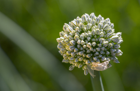 flower bud on a plant with seeds of onions in the garden.