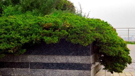 岩の多い庭で品種クリーピングジュニペラス水平はアニエスカ