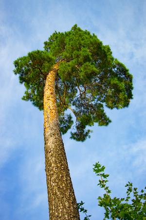 A huge pine with a sky view from the botto?m. Stock Photo