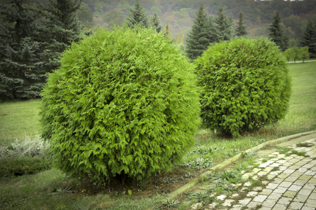 Thuja occidentalis Danica. Decorative garden shrub with a round shape