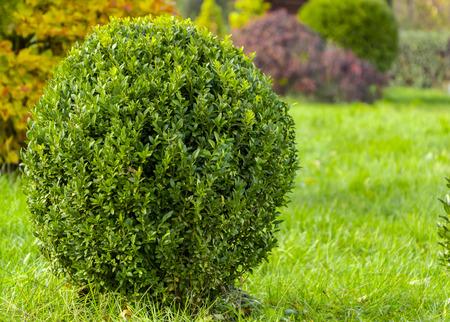 Bukszpan z świeżymi zielonymi liśćmi krzewów w ogrodzie na wiosnę
