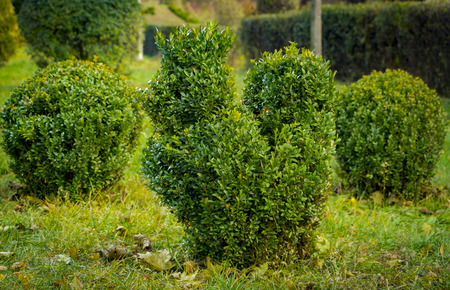 Boxwood with fresh green leafs bush in the garden on spring