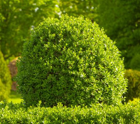 신선한 녹색 회양목 leafs 봄에 정원에서 부시