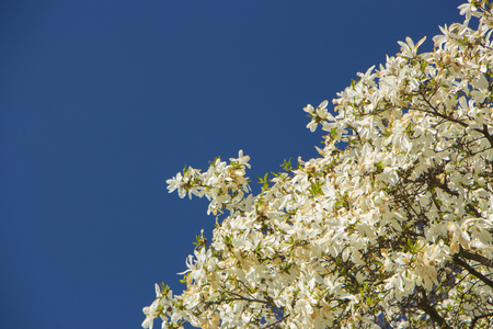 Magnolia blooming in early spring. Tulip tree. Stock Photo