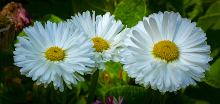Flowering. Chamomile. Blooming chamomile field, Chamomile flowers Natural herbal treatment