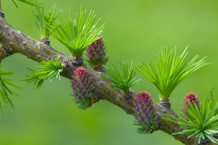 Decorative dwarf tree larch Nidiformis Picea abies Nidiformis. Branches from spring. Stock Photo