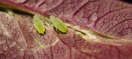 small aphid on a green leaf in the open air. Foto de archivo