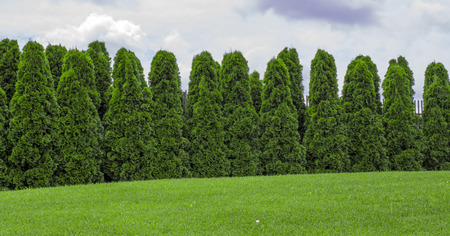 Fragment of a rural fence hedge from evergreen plants the Thuja. 스톡 콘텐츠