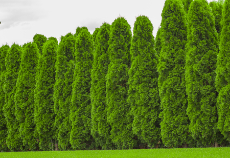 Fragment of a rural fence hedge from evergreen plants the Thuja. Archivio Fotografico