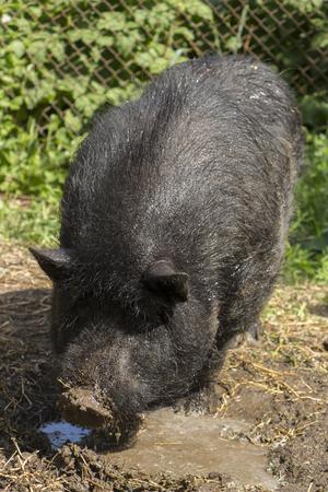 Black dirty Vietnamese pig close-up Stock Photo