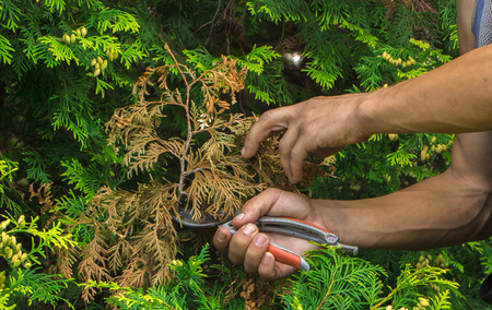 Pruning the garden with a gardener, removing unnecessary branches. Stock Photo