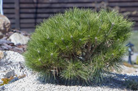 Cultivar dwarf mountain pine Pinus mugo var. pumilio in the rocky garden close up Stock Photo