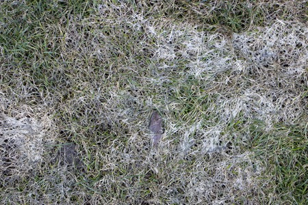 Spring lawn grass affected by grey snow mold Typhula sp. in the April garden Close up 스톡 콘텐츠