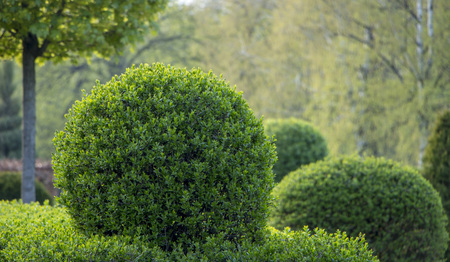 Wild Privet Ligustrum hedge close up nature texture A sample of topiary art Banque d'images