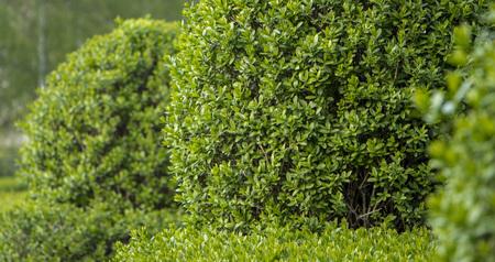 Żywopłot Privet Ligustrum z bliska tekstury natury Próbka sztuki topiary