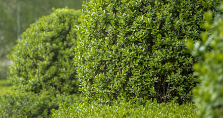 Wild Privet Ligustrum hedge close up nature texture A sample of topiary art Stock Photo