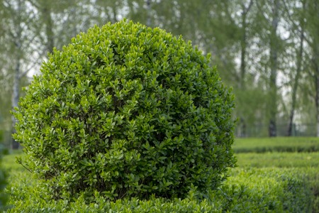 Wild Privet Ligustrum hedge close up nature texture A sample of topiary art 免版税图像
