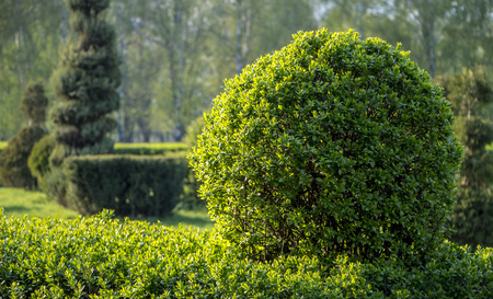 Wild Privet Ligustrum hedge close up nature texture A sample of topiary art 免版税图像