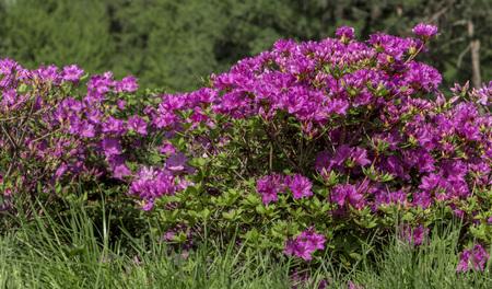 Purple azalea, rhododendron, flower close-up. evergreen penny-loving plant 版權商用圖片