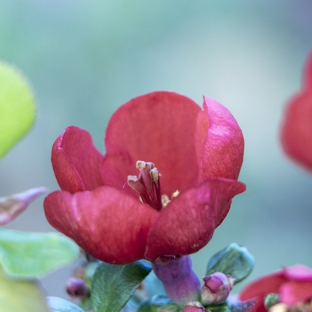 Orange-red flowers of Japanese quince. Blooming Maule's quince Chaenomeles japonica  스톡 콘텐츠