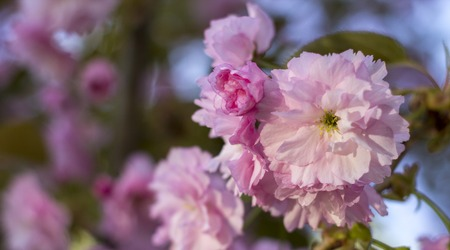 Close up of beautiful pink sakura flowers in the morning. Cherry blossom. Stock Photo