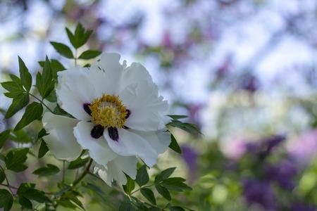 White flower of a tree-like peony Paeonia suffruticosa. Stock Photo