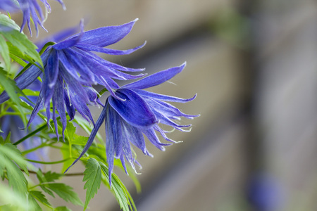 Flowering blue clematis in the garden. Beautiful lilac clematis flower Banque d'images - 101663955