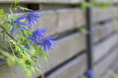 Flowering blue clematis in the garden. Beautiful lilac clematis flower Banque d'images - 101663957