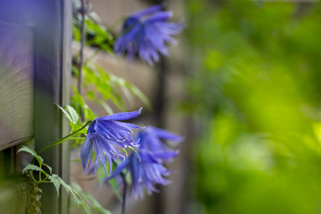 Flowering blue clematis in the garden. Beautiful lilac clematis flower Banque d'images - 101663958