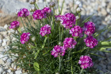 Carnations are beautiful flowers for your garden Stock Photo