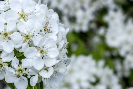 Beautiful white pear flower on a branch, against the sky.