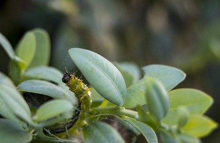Caterpillar as a pest eating buxus leaves, Cydalima perspectalis as the biggest pest for buxus.