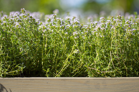 Thyme, close-up. Long-standing low-growing plant. It has medicinal properties and is used in tea blends. Stock Photo