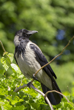 A eurasian magpie, sitting on a thin branch, also known as common magpie. Pica pica close up