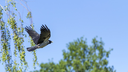 A eurasian magpie, flies against the sky, also known as common magpie. Pica pica Close up