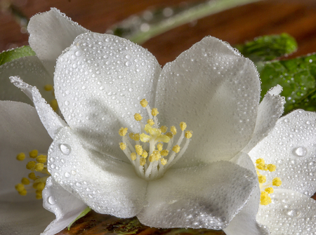 Jasmine flower on the old wood background,select focus close up Stock Photo