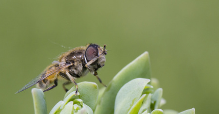 Close up shot of drone on flower