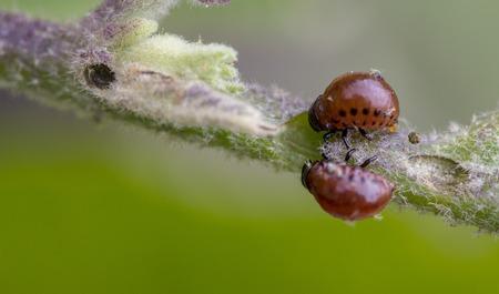 Colorado beetle's larva feeding on the potato leaf close up