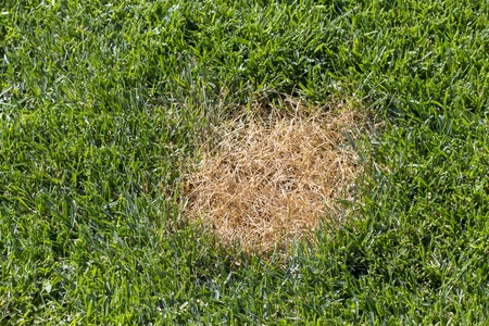 Anthracnose lawn, death of small areas of turf