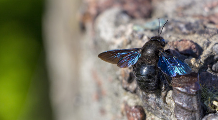 Close-up of Carpenter Bee perched on Concrete wall
