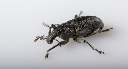 Anthonomus pomorum On a white background black-winged beetle. Pest, destroys the harvest of the sheep Stock Photo