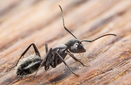 Ant on an old wooden background close-up Standard-Bild