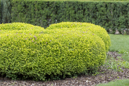 Spirea bush, used in landscape design. It is possible to give an arbitrary shape to the pruning Stok Fotoğraf - 104501039