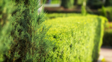 Spirea bush, used in landscape design. It is possible to give an arbitrary shape to the pruning Stok Fotoğraf - 104501091