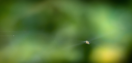 A scarce garden spider sits on a web, a big plan on a green background