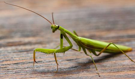 Mantis sur le fond en bois se bouchent Banque d'images