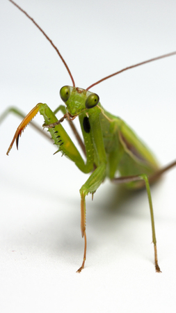 A small green mantis on a light background close up